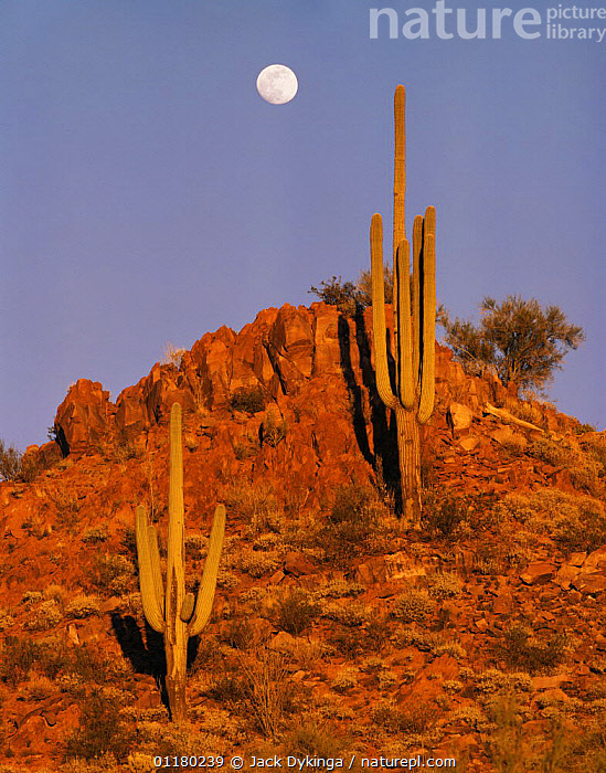 Full moon rising over Saguaro Cacti (Carnegiea gigantea) at sunset, Tucson Mountains, Saguaro National Monument, Arizona, USA  ,  CACTI,CACTUS,DESERTS,DUSK,LANDSCAPES,MOON,MOUNTAINS,north america,NORTH AMERICA,PLANTS,RESERVE,SHRUBS,SUNSET,USA,VERTICAL  ,  Jack Dykinga