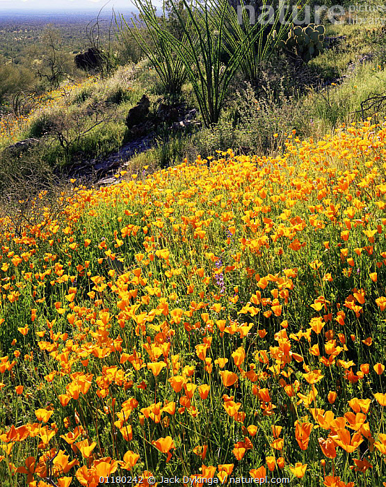 Ocotillos (Fouquieria splendens) amongst flowering Mexican Poppies (Eschscholtzia mexicana) on east facing slopes, Sonoran Desert National Monument, Arizona, USA, DESERTS,FLOWERS,LANDSCAPES,north america,NORTH AMERICA,PLANTS,Poppies,RESERVE,USA,VERTICAL, Jack Dykinga