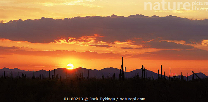 Sunset at Javalina Mountain and the Sand Tank Mountains, Sonoran Desert National Monument, Arizona, USA, CACTI,CACTUS,CLOUDS,DESERTS,DRAMATIC,DUSK,LANDSCAPES,MOUNTAINS,north america,NORTH AMERICA,panoramic,PLANTS,RESERVE,SILHOUETTES,SKIES,SUNSET,USA,Weather, Jack Dykinga
