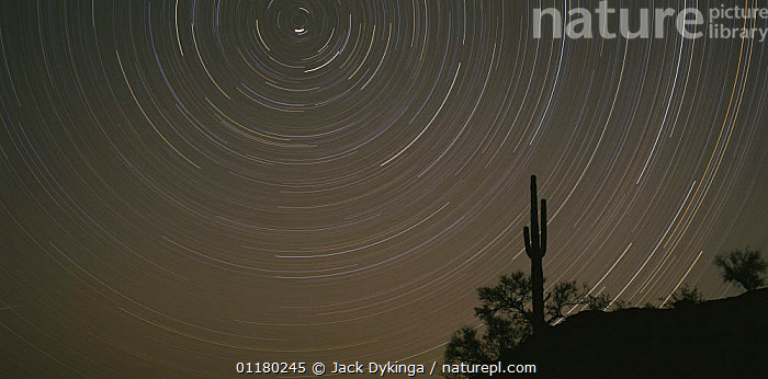 Night sky with trails of stars rotating around the North Star with a Saguaro Cactus (Carnegiea gigantea) silhouetted in the foreground, Cabeza Prieta NW Refuge, Arizona, USA, CACTI,CACTUS,DESERTS,LANDSCAPES,long exposure,NIGHT,north america,NORTH AMERICA,panoramic,PLANTS,RESERVE,SILHOUETTES,SKIES,STARS,startrails,USA, Jack Dykinga