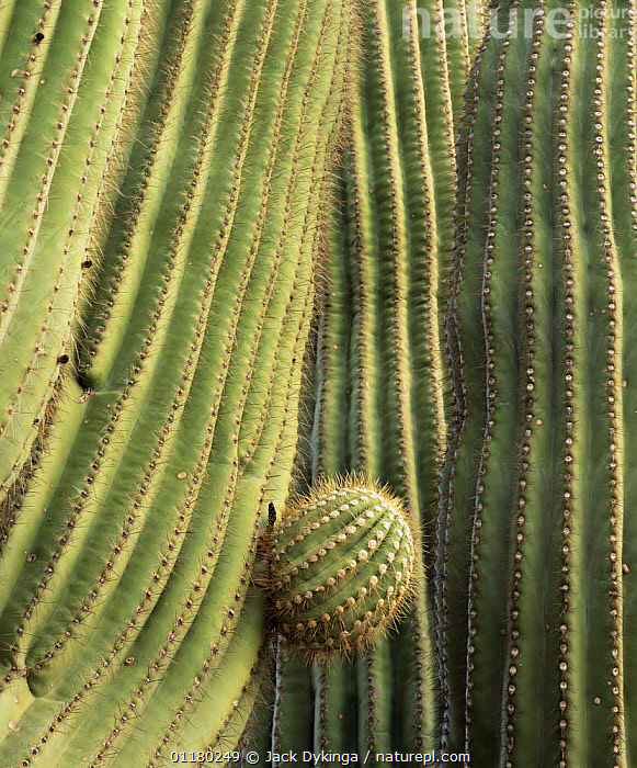 Saguaro Cactus (Carnegiea gigantea) with new arm emerging from its trunk, Cabeza Prieta NW Refuge, Arizona, USA, CACTACEAE,CACTI,CACTUS,DICOTYLEDONS,GROWTH,north america,NORTH AMERICA,PLANTS,SPINES,USA,VERTICAL,Concepts, Jack Dykinga
