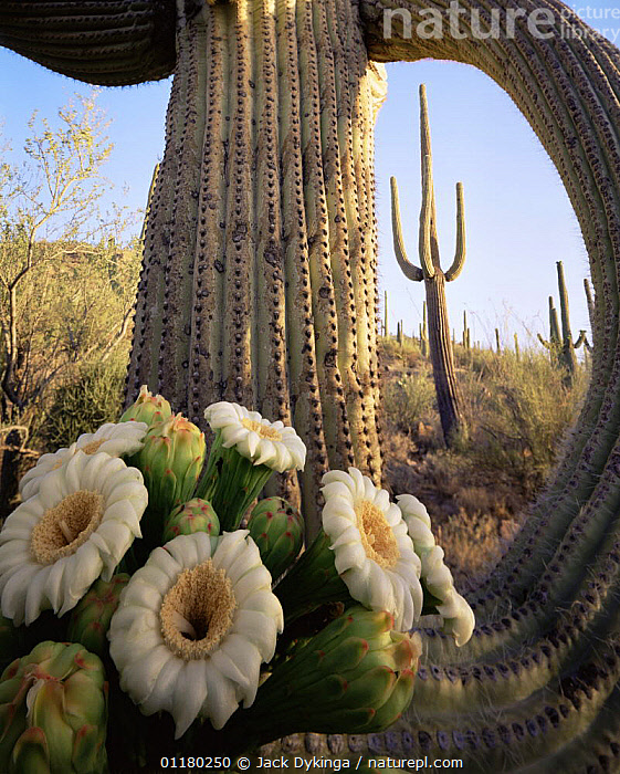 Saguaro Cactus (Carnegiea gigantea) at dawn with new flowers emerging at the tip of its limb, Saguaro NP, Arizona, USA, CACTACEAE,CACTI,CACTUS,DICOTYLEDONS,FLOWERS,GROWTH,north america,NORTH AMERICA,PLANTS,SPINES,USA,VERTICAL,Concepts, Jack Dykinga