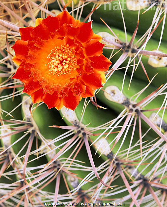 Arizona Barrel Cactus (Ferocactus wislizenii) flower in full bloom amid the cactus spines, Saguaro NP, Arizona, USA, CACTACEAE,CACTI,CACTUS,DICOTYLEDONS,FLOWERS,north america,NORTH AMERICA,PLANTS,SPINES,USA,VERTICAL, Jack Dykinga