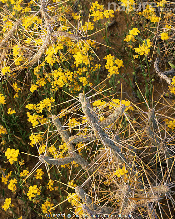 Pencil Cholla (Opuntia ramosissima) and flowering Fendler's Bladderpod (Lesquerella fendleri) Cabeza Prieta NW Refuge, Arizona, USA, CACTACEAE,CACTI,CACTUS,DESERTS,DICOTYLEDONS,FLOWERS,LANDSCAPES,north america,NORTH AMERICA,PLANTS,SPINES,USA,VERTICAL, Jack Dykinga