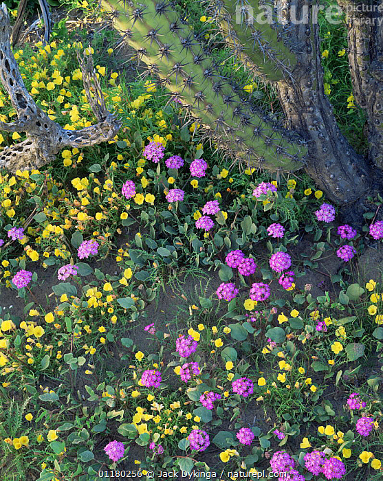 Sand Verbena (Abronia villosa) and Evening Primrose (Oenothera sp) flowering beneath a Galloping Cactus (Stenocereus gummosus)