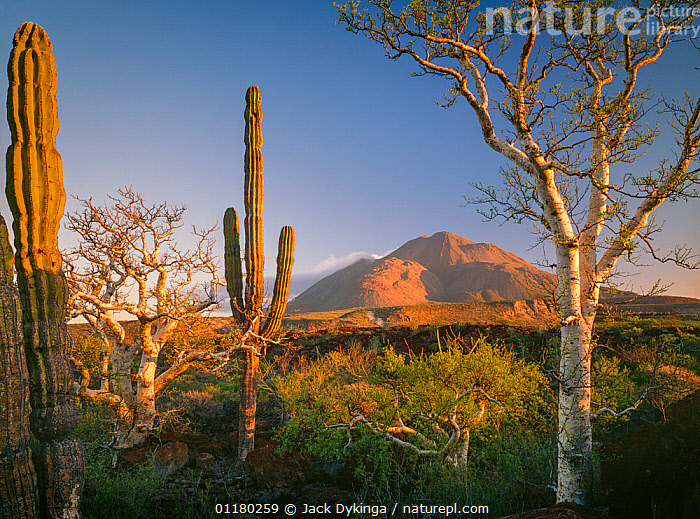 Cardon Cacti (Pachycereus pringlei) and Elephant Trees (Pachycormus discolor) at sunrise with the Tres Virgenes volcanoes in the background, Baja California Sur, Mexico, Central America, CACTI,CACTUS,central america,CENTRAL AMERICA,DAWN,DESERTS,DICOTYLEDONS,LANDSCAPES,MEXICO,PLANTS,SUNRISE,TREES,VOLCANOES,Geology,USA,CENTRAL-AMERICA, Jack Dykinga