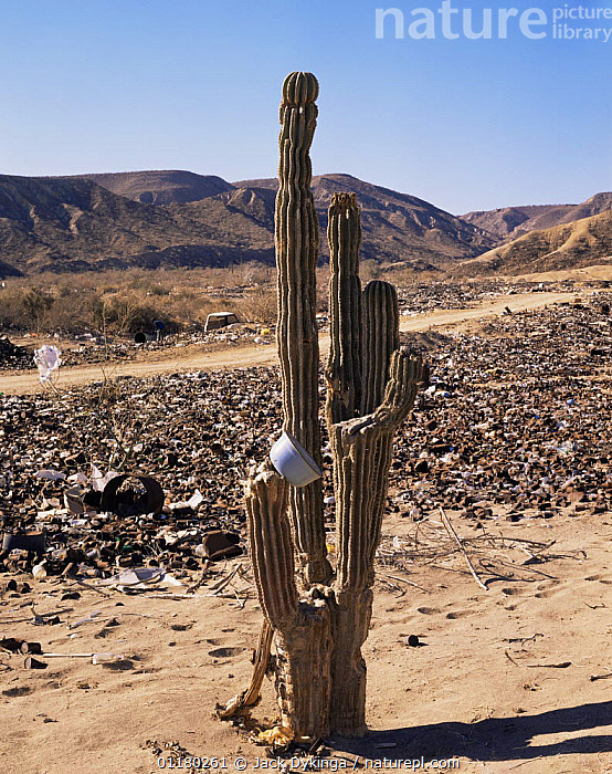Cardon Cactus (Pachycereus pringlei) amongst waste from desert dumping near Santa Rosalia, Baja California Sur, Mexico, Central America, CACTI,CACTUS,central america,CENTRAL AMERICA,DESERTS,DICOTYLEDONS,garbage,LANDSCAPES,MEXICO,MOUNTAINS,PEOPLE,PLANTS,POLLUTION,REFUSE,rubbish,VERTICAL,waste,USA,CENTRAL-AMERICA, Jack Dykinga
