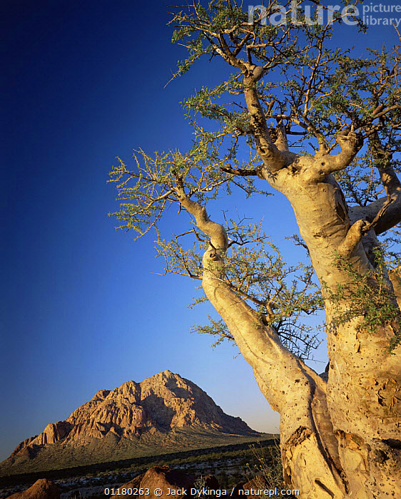 Pico El Gato Mountains with a Torote Elephant Tree (Pachycormus discolor) in the foreground, Vizcaino Desert, Baja California Sur, Mexico, Central America, central america,CENTRAL AMERICA,DESERTS,LANDSCAPES,MEXICO,MOUNTAINS,ROCK FORMATIONS,TREES,VERTICAL,Geology,Plants,USA,CENTRAL-AMERICA, Jack Dykinga