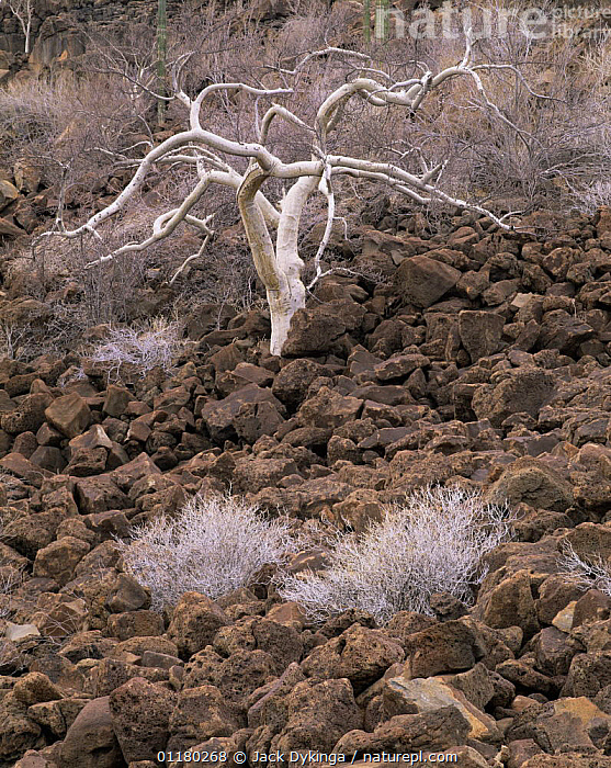 Elephant Tree (Bursera microphylla) growing in the Pico Vicente lava flow, Sonoran Desert, Baja California Sur, Mexico, Central America, central america,CENTRAL AMERICA,colonisation,LANDSCAPES,Lava,MEXICO,ROCK FORMATIONS,ROCKS,TREES,VERTICAL,Geology,Plants,USA,CENTRAL-AMERICA, Jack Dykinga