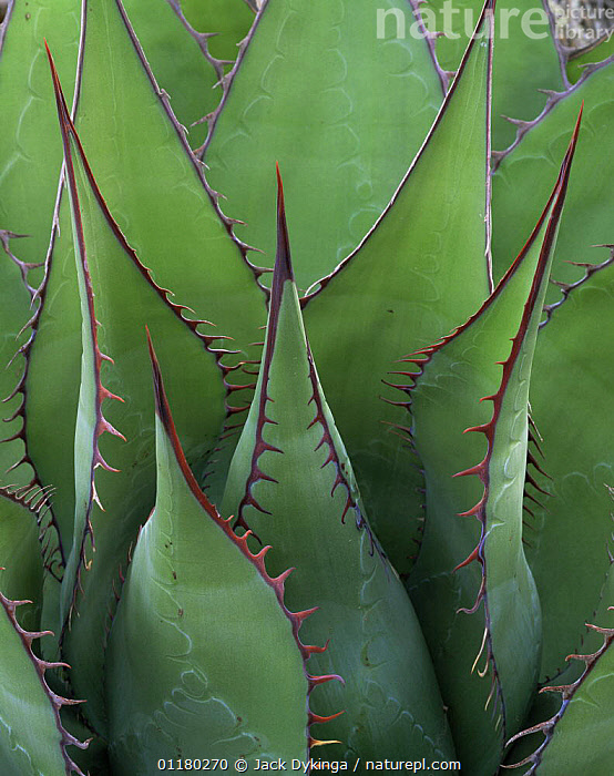 Coastal Century Plant (Agave shawii) with red edging and spines, Sonoran Desert, Baja California Sur, Mexico, Central America, central america,CENTRAL AMERICA,CLOSE UPS,DESERTS,MEXICO,PLANTS,SPINES,VERTICAL, Jack Dykinga
