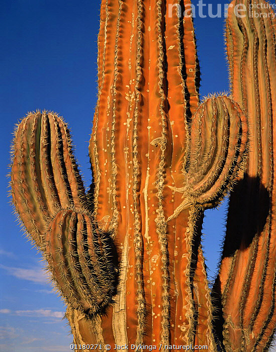 Cardon Cactus (Pachycereus pringlei) reddened on the sun exposed side, Baja California Sur, Mexico, Central America, CACTI,CACTUS,central america,CENTRAL AMERICA,DESERTS,DICOTYLEDONS,MEXICO,PLANTS,SPINES,VERTICAL, Jack Dykinga