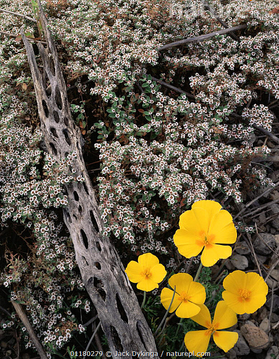 California Poppies (Eschscholtzia californica) and flowering Spurge (Euphorbia sp) with a Cholla Cactus (Opuntia cholla) skeleton, Tres Virgenes, Baja California Sur, Mexico, Central America, CACTI,CACTUS,central america,CENTRAL AMERICA,dead,DESERTS,DICOTYLEDONS,FLOWERS,LANDSCAPES,MEXICO,PLANTS,VERTICAL,USA,CENTRAL-AMERICA, Jack Dykinga