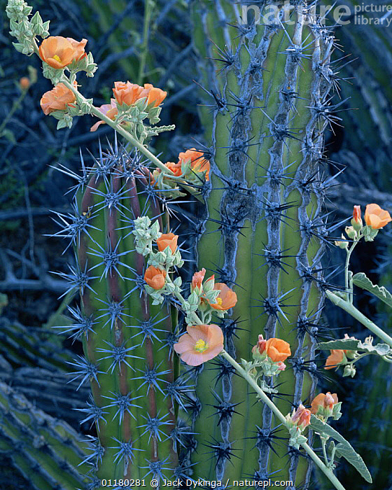 Galloping Cactus (Machaerocereus gummosus) with flowering Globemallow (Sphaeralcea sp), Tres Virgenes, Baja California Sur, Mexico, Central America, CACTI,CACTUS,central america,CENTRAL AMERICA,DESERTS,DICOTYLEDONS,FLOWERS,LANDSCAPES,MEXICO,PLANTS,SPINES,VERTICAL,USA,CENTRAL-AMERICA, Jack Dykinga