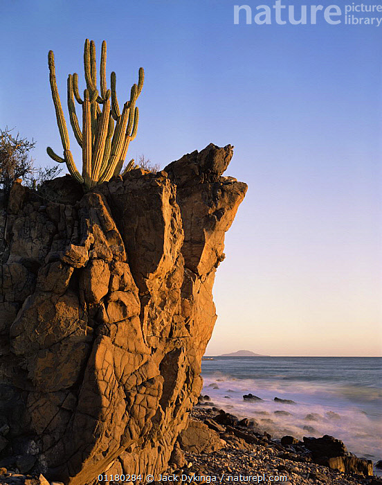 Organpipe Cactus (Cereus thurberi) rooted in volcanic rock on the coast of the Sea of Cortez at dawn, Baja California Sur, Mexico, Central America, BEACHES,CACTI,CACTUS,central america,CENTRAL AMERICA,COASTS,DAWN,DICOTYLEDONS,LANDSCAPES,MEXICO,PEACEFUL,PLANTS,ROCK FORMATIONS,ROCKS,SUNRISE,VERTICAL,WATER,Concepts,Geology,USA,CENTRAL-AMERICA,North America,Catalogue1, Jack Dykinga