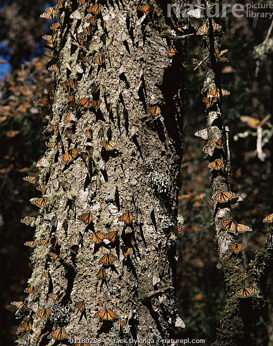 Monarch Butterflies (Danaus plexippus) on a tree trunk in coniferous forest, Sierra Chincua Monarch Butterfly Biosphere Reserve, Michoacan, Mexico, Central America, ARTHROPODS,BUTTERFLIES,central america,CENTRAL AMERICA,FORESTS,INSECTS,INVERTEBRATES,LEPIDOPTERA,MEXICO,RESERVE,TREES,TRUNKS,VERTICAL,WOODLANDS,Plants, Jack Dykinga