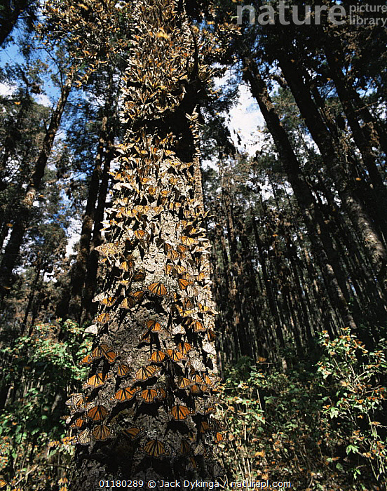 Monarch Butterflies (Danaus plexippus) covering the trunk of a tree in coniferous forest, Sierra Chincua Monarch Butterfly Biosphere Reserve, Michoacan, Mexico, Central America, ARTHROPODS,BUTTERFLIES,central america,CENTRAL AMERICA,FORESTS,INSECTS,INVERTEBRATES,LEPIDOPTERA,MEXICO,RESERVE,TREES,TRUNKS,VERTICAL,WOODLANDS,Plants, Jack Dykinga