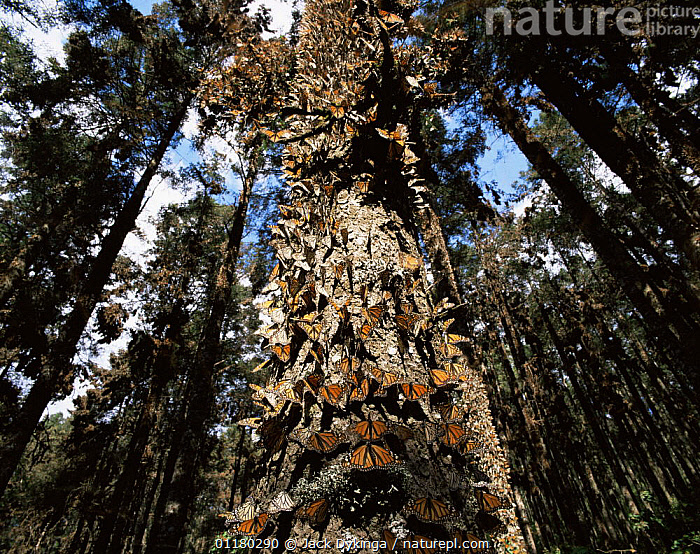 Monarch Butterflies (Danaus plexippus) covering the trunk of a tree in coniferous forest, Sierra Chincua Monarch Butterfly Biosphere Reserve, Michoacan, Mexico, Central America, ARTHROPODS,BUTTERFLIES,central america,CENTRAL AMERICA,FORESTS,INSECTS,INVERTEBRATES,LEPIDOPTERA,MEXICO,RESERVE,TREES,TRUNKS,WOODLANDS,Plants,Catalogue1, Jack Dykinga