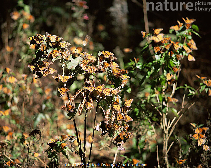 Monarch Butterflies (Danaus plexippus) flying and landing on plants beneath a coniferous forest, Sierra Chincua Monarch Butterfly Biosphere Reserve, Michoacan, Mexico, Central America, ARTHROPODS,BUTTERFLIES,central america,CENTRAL AMERICA,FLYING,FORESTS,INSECTS,INVERTEBRATES,LANDING,LEAVES,LEPIDOPTERA,MEXICO,PLANTS,RESERVE,WOODLANDS, Jack Dykinga