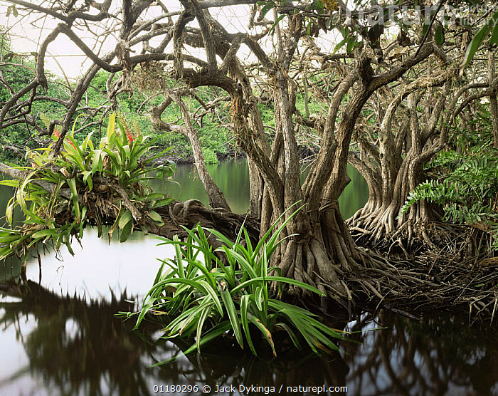 Anonilla (Rollinia jimenezii) and Crinum Lilies (Crinum scabrum) in the roots of a Mangrove (Rhizophora mangle), with Bromeliads (Bromeliaceae) growing in the branches, La Tovara Wetlands, San Blas, Mexico, Central America  ,  BROMELIADS,central america,CENTRAL AMERICA,FLOWERS,LANDSCAPES,Lilies,MANGROVES,MEXICO,PLANTS,ROOTS,TREES,TRUNKS,WATER,WETLANDS,CENTRAL-AMERICA,Catalogue1  ,  Jack Dykinga