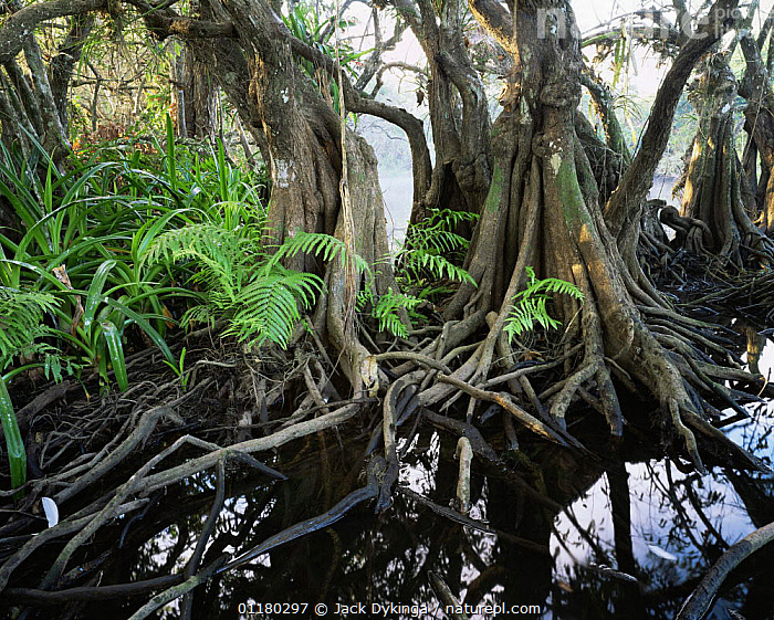 Anonilla (Rollinia jimenezii), Crinum Lilies (Crinum scabrum) and ferns (Thelypteris sp) in the roots of a Mangrove (Rhizophora mangle), La Tovara Wetlands, San Blas, Mexico, Central America, BROMELIADS,central america,CENTRAL AMERICA,FERNS,LANDSCAPES,MANGROVES,MEXICO,PLANTS,ROOTS,TREES,TRUNKS,WATER,WETLANDS,CENTRAL-AMERICA,Catalogue1, Jack Dykinga