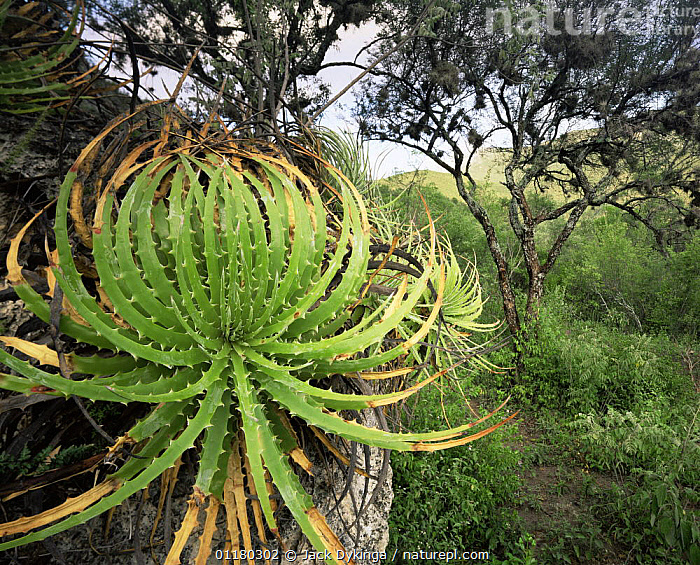 Bromeliad (Hechtia sp) growing on a cliff edge in the valley beneath the Sierra Madre Oriental, Mexico, Central America, BROMELIADS,central america,CENTRAL AMERICA,LANDSCAPES,MEXICO,PLANTS,ROCKS,TREES,CENTRAL-AMERICA, Jack Dykinga