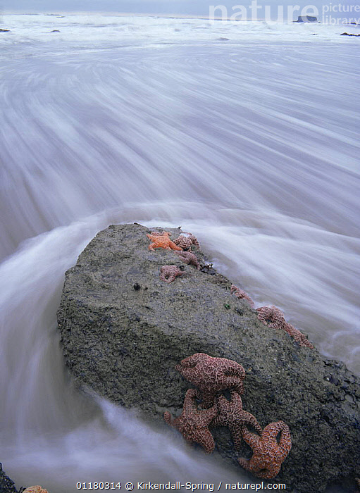 Incoming tide surging around Starfish (Asteroidea) clinging to a rock, Toleak Point, Olympic NP, Washington, USA, COASTS,LANDSCAPES,NORTH AMERICA,NORTH AMERICA,RESERVE,ROCKS,STARFISH,TIDAL,TIDES,USA,WASHINGTON,WATER, Kirkendall-Spring