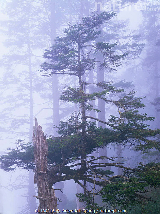 Trees of a coniferous forest in the morning mist, Olympic NP, Washington, USA, ATMOSPHERIC,CONIFEROUS,FORESTS,LANDSCAPES,MIST,NORTH AMERICA,NORTH AMERICA,RESERVE,TREES,USA,VERTICAL,WASHINGTON,WOODLANDS,Plants, Kirkendall-Spring