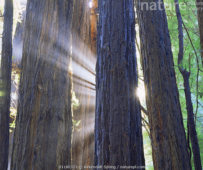 Sunbeams through Coastal Redwood trees (Sequoia sempervirens), Muir Woods NP, California, USA, CALIFORNIA,FORESTS,LANDSCAPES,NORTH AMERICA,NORTH AMERICA,RESERVE,SUN,TREES,TRUNKS,USA,WOODLANDS,Plants, Kirkendall-Spring