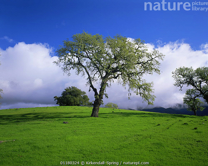 Oak Trees in a meadow in the Santa Ynez Mountains, California, USA, CALIFORNIA,CLOUDS,LANDSCAPES,MEADOWS,NORTH AMERICA,NORTH AMERICA,TREES,USA,Weather,Plants, Kirkendall-Spring