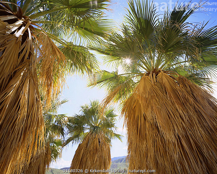 California Fan Palm trees {Washingtonia} with the sun shining through the top leaves, Anza-Borrego Desert State Park, California, USA, LOW ANGLE SHOT,LANDSCAPES,LEAVES,NORTH AMERICA,NORTH AMERICA,OASIS,PALMS,RESERVE,SUN,TREES,USA,Plants ,low angle, Kirkendall-Spring