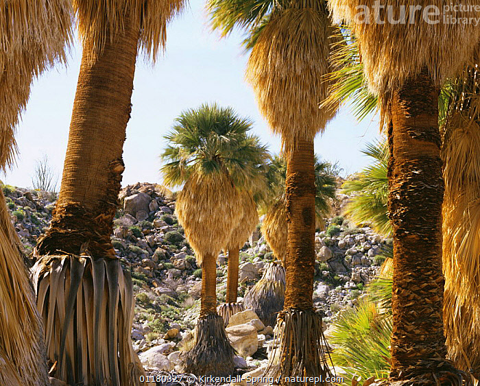 California Fan Palm trees {Washingtonia} in Mary's Grove, Anza-Borrego Desert State Park, California, USA, LANDSCAPES,NORTH AMERICA,NORTH AMERICA,OASIS,PALMS,RESERVE,ROCKS,TREES,TRUNKS,USA,VALLEYS,Plants, Kirkendall-Spring