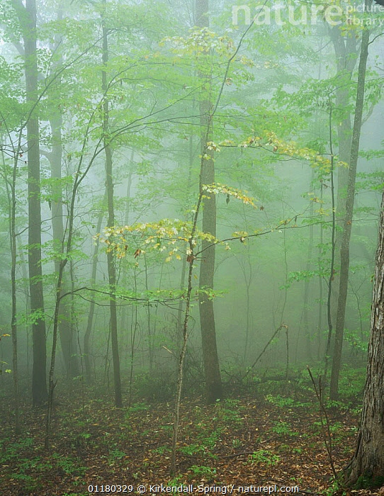 Forest along Roaring Fork Motor Nature Trail, Great Smoky Mountains NP, Tennessee, USA, ATMOSPHERIC,FORESTS,LANDSCAPES,MIST,NORTH AMERICA,NORTH AMERICA,PEACEFUL,RESERVE,TREES,USA,VERTICAL,WOODLANDS,Concepts,Plants, Kirkendall-Spring