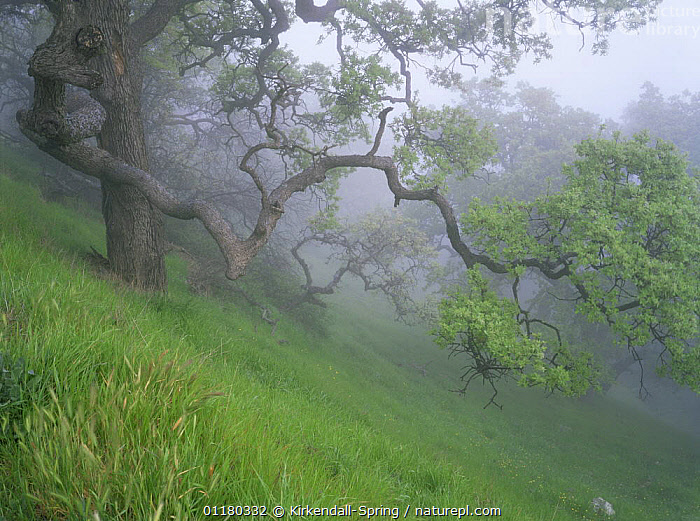 Oak trees in the mist on Figueroa Mountain, Los Padres National Forest, California, USA, ATMOSPHERIC,FORESTS,GRASSES,HILLS,LANDSCAPES,MIST,NORTH AMERICA,NORTH AMERICA,PEACEFUL,RESERVE,TREES,USA,WOODLANDS,Concepts,Plants, Kirkendall-Spring