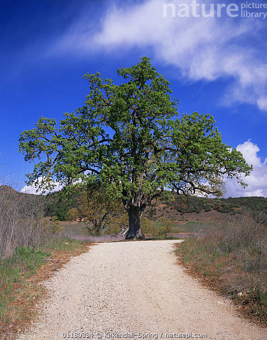 Oak Tree {Quercus sp} growing at Paramount Ranch, Santa Monica Mountains National Recreation Area, California, USA, LANDSCAPES,NORTH AMERICA,NORTH AMERICA,OAKS,RESERVE,ROADS,TREES,USA,VERTICAL,Plants, Kirkendall-Spring
