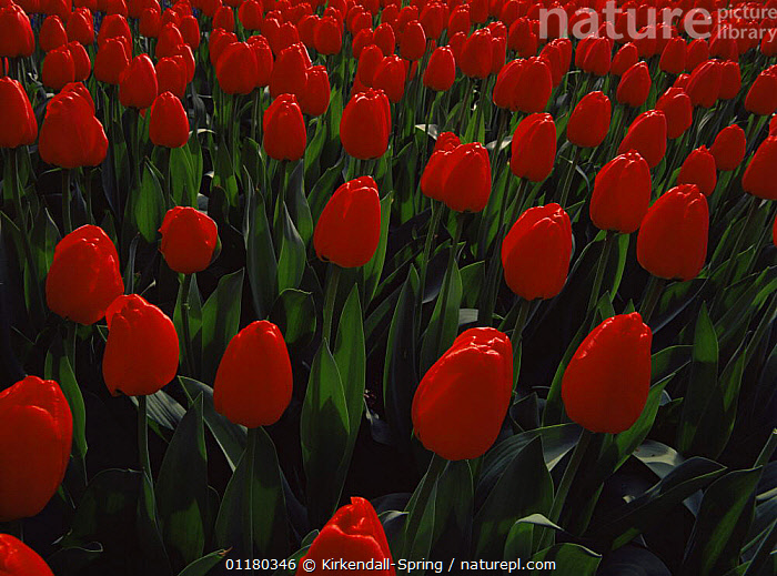 Field of cultivated red Tulips {Tulipa Genus} growing in the gardens at Keukenhof, The Netherlands, Europe, CULTIVATED,EUROPE,FIELDS,FLOWERS,GARDENS,HOLLAND,HORTICULTURE,LANDSCAPES,PLANTS, Kirkendall-Spring