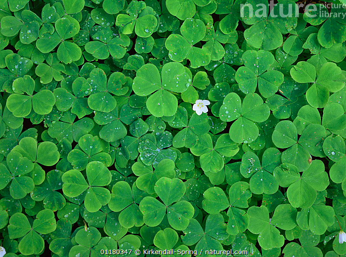 Wood Sorrel {Oxalis montana} growing on the forest floor, Olympic NP, Washington, USA, FLOWERS,FORESTS,GREEN,LEAVES,north america,NORTH-AMERICA,PLANTS,USA,WOODLANDS,OXALIS MONTANA,,,, Kirkendall-Spring