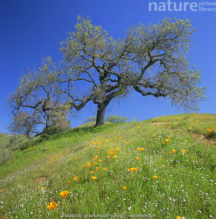 Oak Tree {Quercus sp} in a meadow amid California Poppies {Eschscholzia californica}, Henry W. Coe State Park, California, USA, FIELDS,FLOWERS,LANDSCAPES,MEADOWS,NORTH AMERICA,NORTH AMERICA,RESERVE,SPRING,TREES,USA,Plants, Kirkendall-Spring