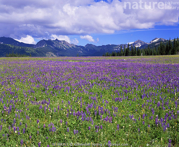 Lupin {Lupinus genus} growing in a meadow with mountains in the background, Mount Rainier NP, Washington, USA, BLUE,CLOUDS,FIELDS,FLOWERS,LANDSCAPES,LUPINS,MEADOWS,MOUNTAINS,NORTH AMERICA,NORTH AMERICA,PEACEFUL,PLANTS,RESERVE,TREES,USA,Concepts,Weather, Kirkendall-Spring