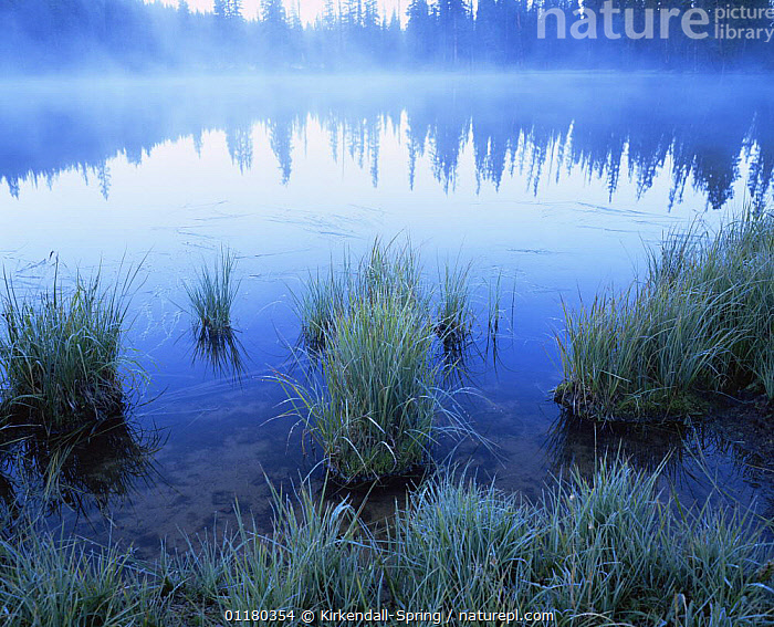 Reflections of coniferous trees with grasses in Olga Lake near the Four Lakes Basin, High Uintas Wilderness Area, Utah, USA, ATMOSPHERIC,BLUE,GRASSES,LAKES,LANDSCAPES,MIST,NORTH AMERICA,NORTH AMERICA,PLANTS,REFLECTIONS,RESERVE,TREES,USA,WATER, Kirkendall-Spring