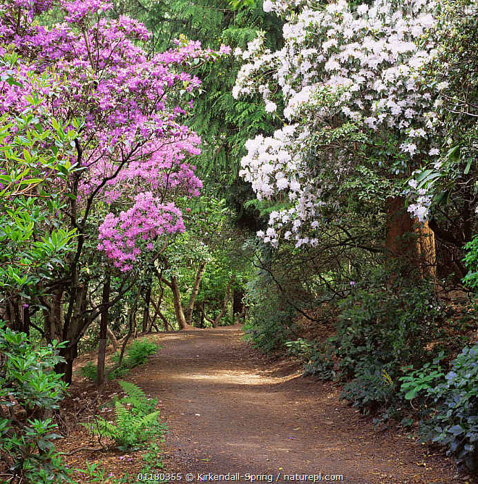 Blossoming trees in Washington Park Arboretum, Seattle, Washington, USA, BLOSSOM,FLOWERS,LANDSCAPES,NORTH AMERICA,NORTH AMERICA,PARKS,PLANTS,ROADS,TREES,USA, Kirkendall-Spring