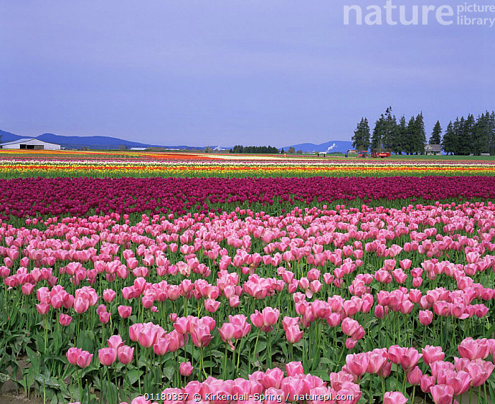 Colourful rows of cultivated Tulipa {Tulipa genus} growing at Tulip Town, Skagit Valley, Washington, USA, COLOURFUL,CULTIVATED,FIELDS,FLOWERS,HORTICULTURE,LANDSCAPES,NORTH AMERICA,NORTH AMERICA,PINK,RED,TULIPS,USA, Kirkendall-Spring