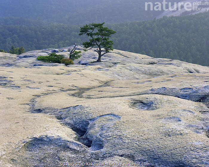 The granite summit of Stone Mountain, Stone Mountain State Park, North Carolina, USA, FORESTS,GRANITE,LANDSCAPES,NORTH AMERICA,NORTH AMERICA,RESERVE,ROCK FORMATIONS,ROCKS,TREES,USA,WOODLANDS,Geology,Plants, Kirkendall-Spring
