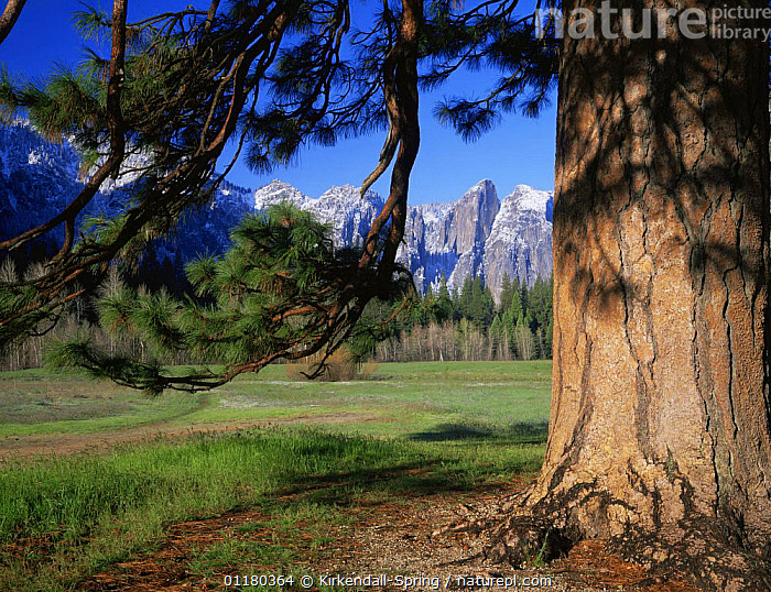 Leidig Meadow and Cathedral Rocks with a coniferous tree in the foreground, Yosemite NP, California, USA, FORESTS,LANDSCAPES,MEADOWS,MOUNTAINS,NORTH AMERICA,NORTH AMERICA,RESERVE,TREES,TRUNKS,USA,WOODLANDS,Plants, Kirkendall-Spring