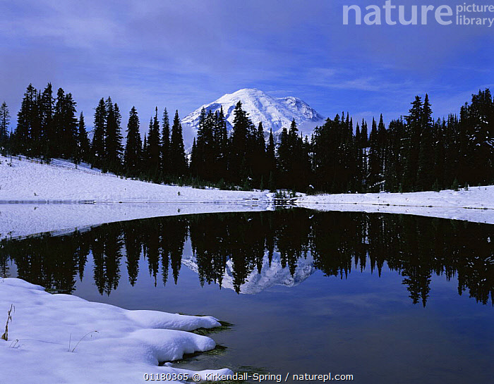 Tipsoo Lake after a snowstorm with Mount Rainier in the background, Mount Rainier NP, Washington, USA, CONIFEROUS,LAKES,LANDSCAPES,MOUNTAINS,NORTH AMERICA,NORTH AMERICA,REFLECTIONS,RESERVE,SNOW,TREES,USA,WATER,WINTER,Plants, Kirkendall-Spring