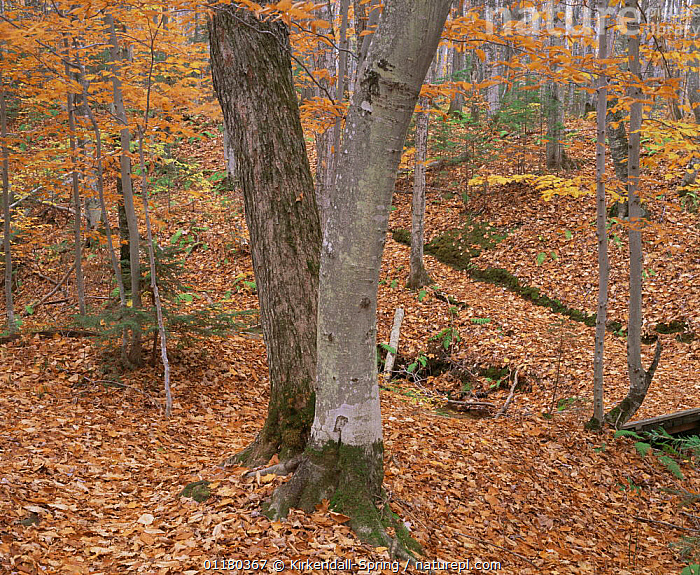 Autumn in a hardwood forest in Chapel Basin, Pictured Rocks National Lakeshore, Michigan, USA, AUTUMN,DECIDUOUS,LANDSCAPES,LEAVES,NORTH AMERICA,NORTH AMERICA,ORANGE,RESERVE,TREES,TRUNKS,USA,Plants, Kirkendall-Spring
