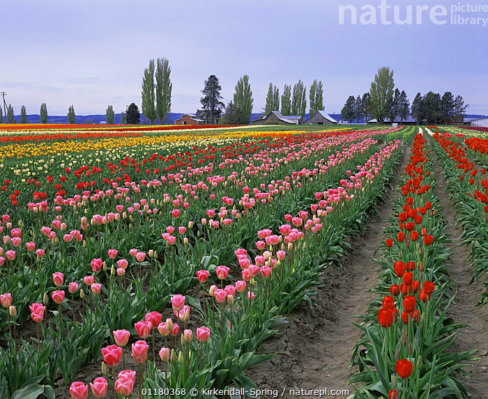 Rows of different coloured cultivated Tulips {Tulipa genus} growing in Tulip Town, Skagit Valley, Washington, USA  ,  BUILDINGS,COLOURFUL,CULTIVATED,FIELDS,FLOWERS,HORTICULTURE,LANDSCAPES,NORTH AMERICA,NORTH AMERICA,PLANTS,TULIPS,USA  ,  Kirkendall-Spring