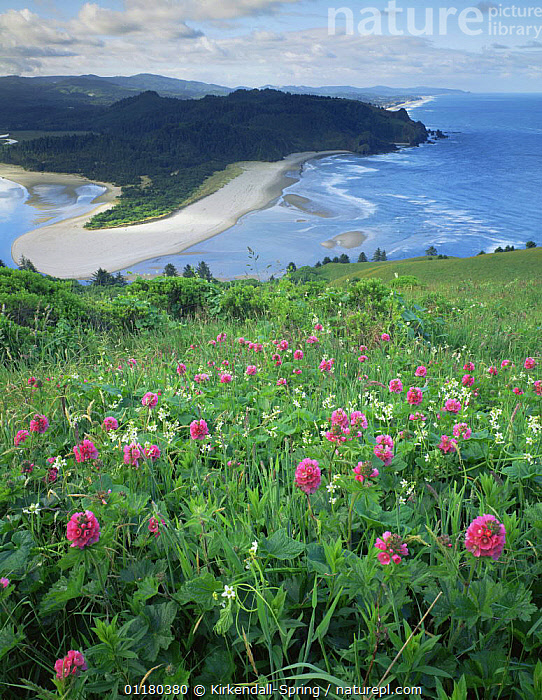 Wild flowers growing on Cascade Head overlooking the Salmon River Mouth, Pacific Coast, Oregon, USA, BEACHES,COASTS,FLOWERS,LANDSCAPES,MEADOWS,NORTH AMERICA,NORTH AMERICA,PACIFIC,RIVERS,USA,VERTICAL,WATER,WOODLANDS, Kirkendall-Spring