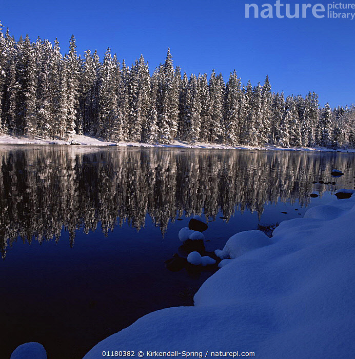 Coniferous trees lining the Wenatchee River in Winter, Lake Wenatchee State Park, Washington, USA, CONIFEROUS,FORESTS,LANDSCAPES,NORTH AMERICA,NORTH AMERICA,REFLECTIONS,RESERVE,RIVERS,SNOW,TREES,USA,WATER,WINTER,WOODLANDS,Plants, Kirkendall-Spring