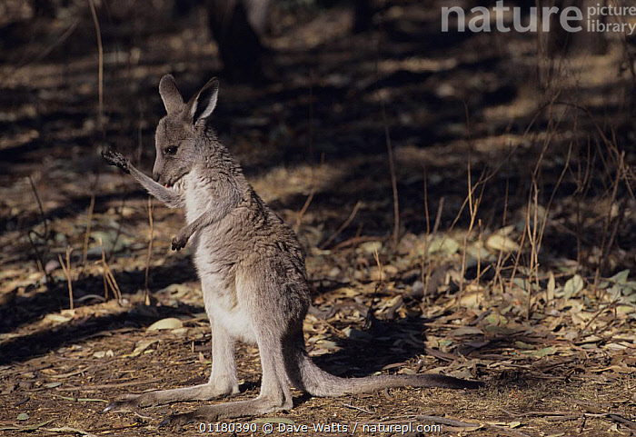 Eastern Grey Kangaroo {Macropus giganteus}  Juvenile arm licking to keep cool, Victoria, Australia  ,  AUSTRALIA,BEHAVIOUR,JOEY,JUVENILE,KANGAROOS,MAMMALS,MARSUPIALS,THERMOREGULATION,VERTEBRATES  ,  Dave Watts