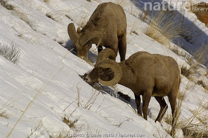 Rocky Mountain Bighorn {Ovis canadensis} feeding in snow, Yellowstone National Park, USA, ARTIODACTYLA,BOVIDS,FEEDING,MAMMALS,SHEEP,SNOW,USA,VERTEBRATES,North America,Goats,Antelopes, Dave Watts